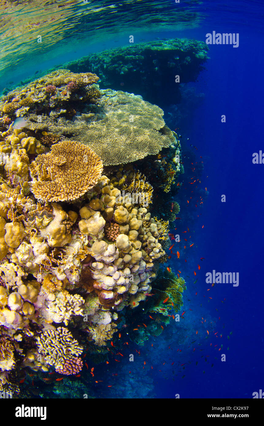 Red Sea, underwater, coral reef, sea life, marine life, ocean, scuba diving, vacation, water, blue water, shallow - Stock Image