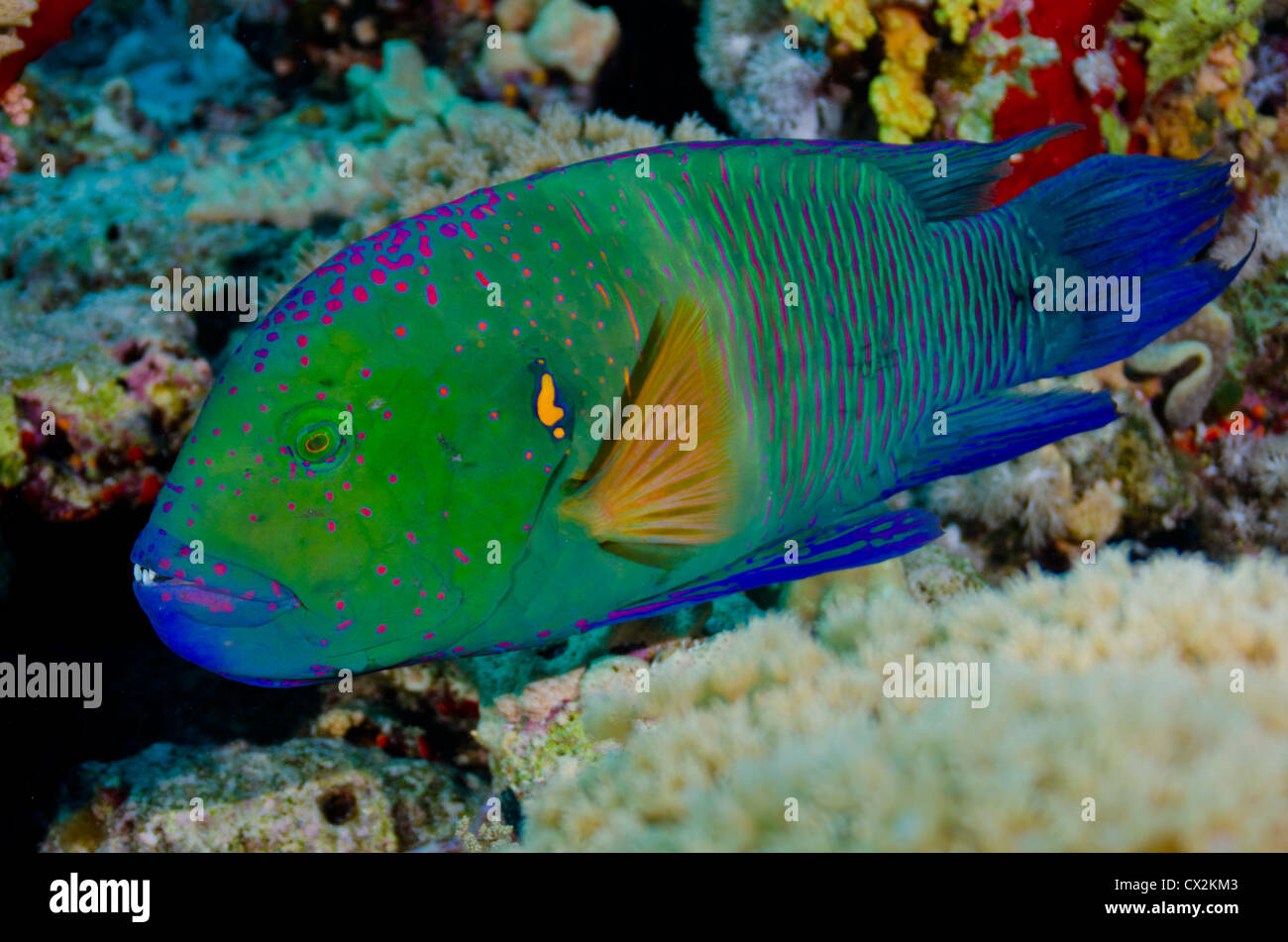 Red Sea, underwater, coral reef, sea life, marine life, ocean, scuba diving, vacation, water, fish, wrass fish, - Stock Image