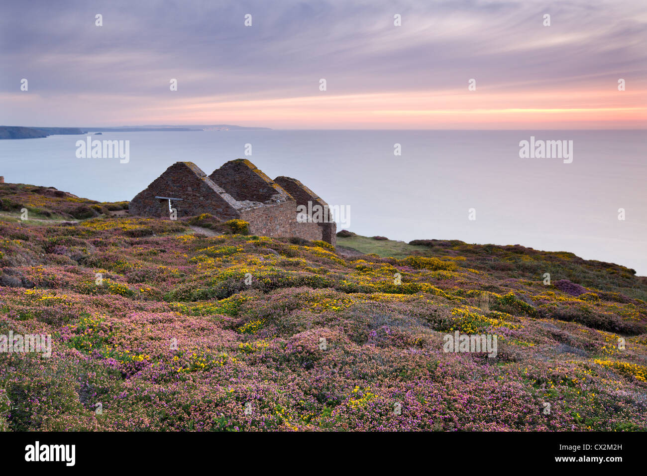 Flowering heather surrounding the remains of the Calciner building at Wheal Coates Tin Mine near St Agnes, Cornwall, - Stock Image