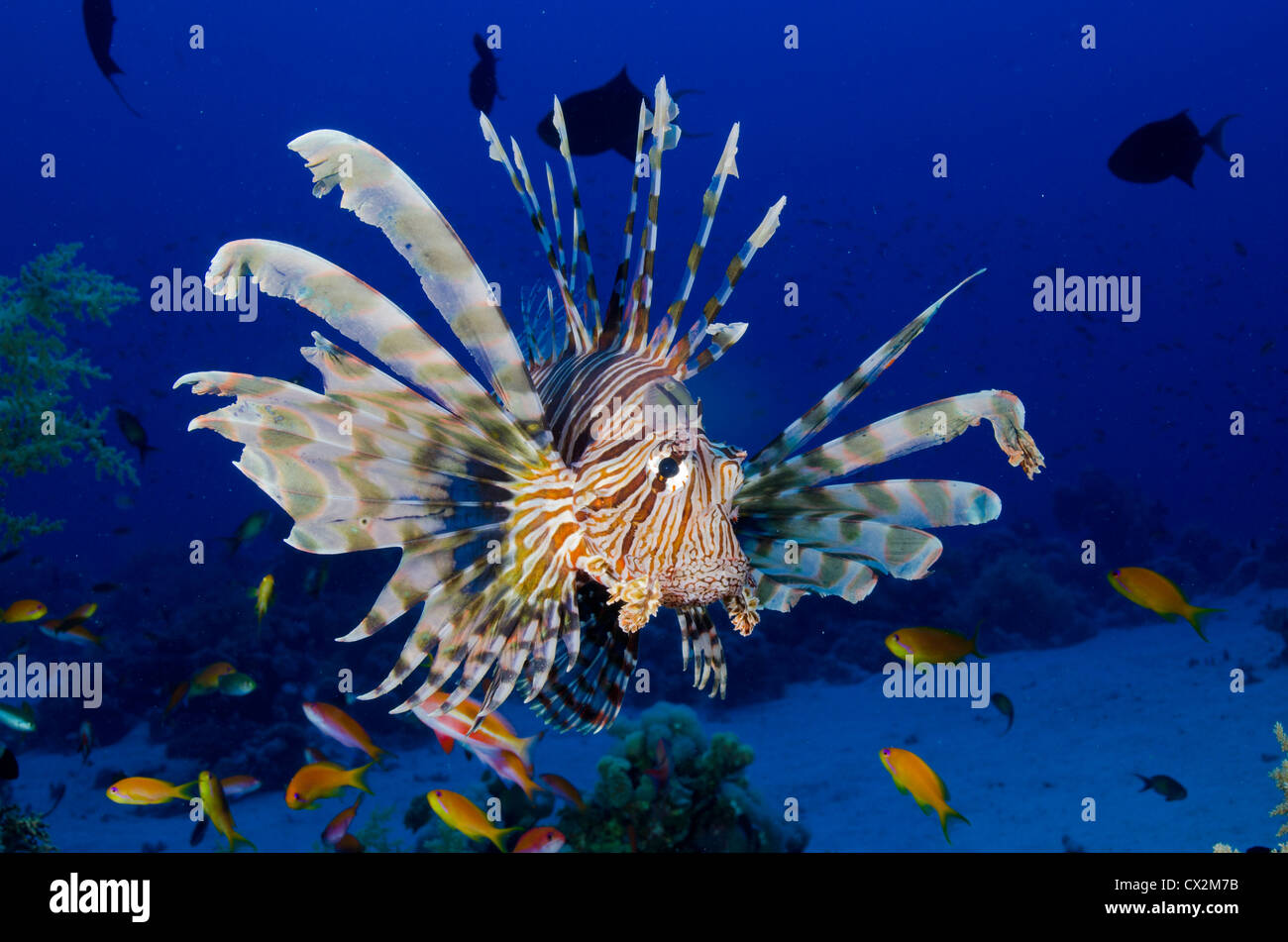 lion fish,coral reef, Red Sea, Egypt, underwater, sea life, blue water, anthias fish, tropical reef, scuba, ocean, - Stock Image