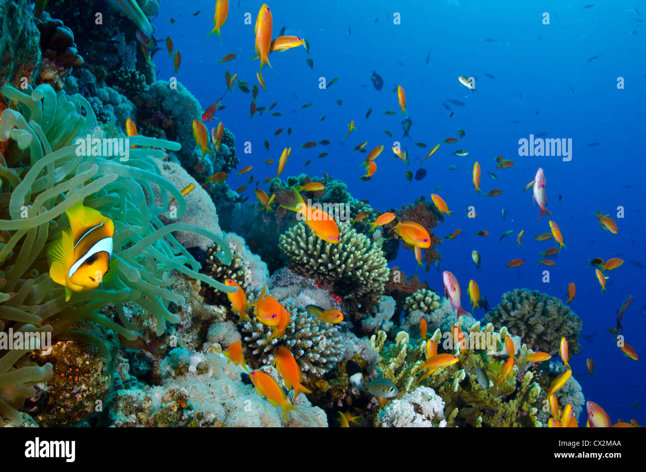 coral reef, Red Sea, Egypt, underwater, tropical reef, blue water, scuba, diving, ocean, sea, fish, sea life, clear - Stock Image