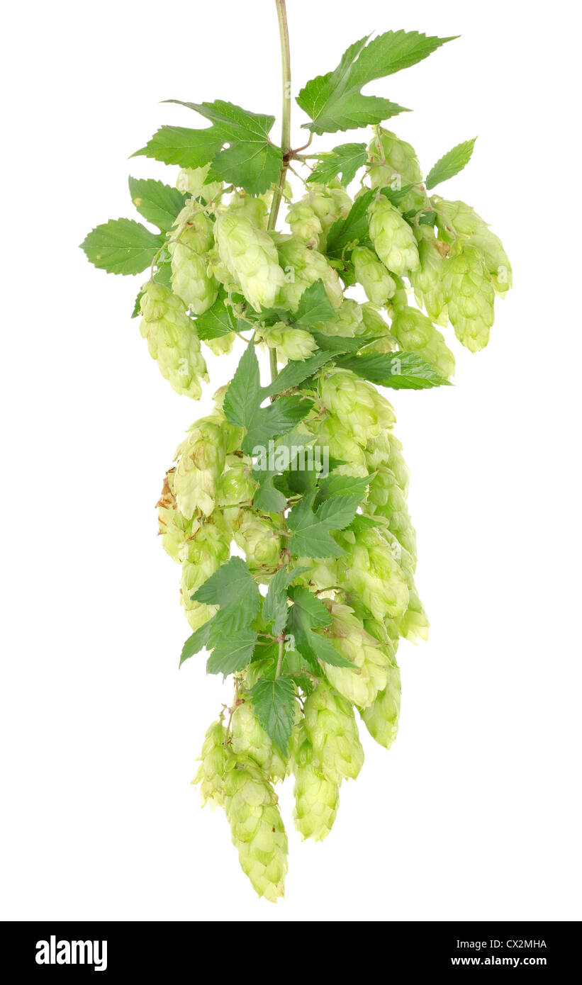 Cluster of hops with leafs isolated on white background - Stock Image