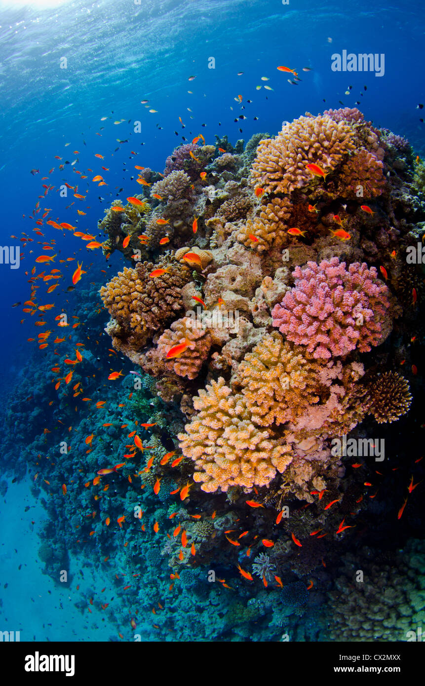 shallow coral reef with hard corals and anthias fish in the Red Sea, Egypt, blue water, deep, ocean, sea, deep, - Stock Image
