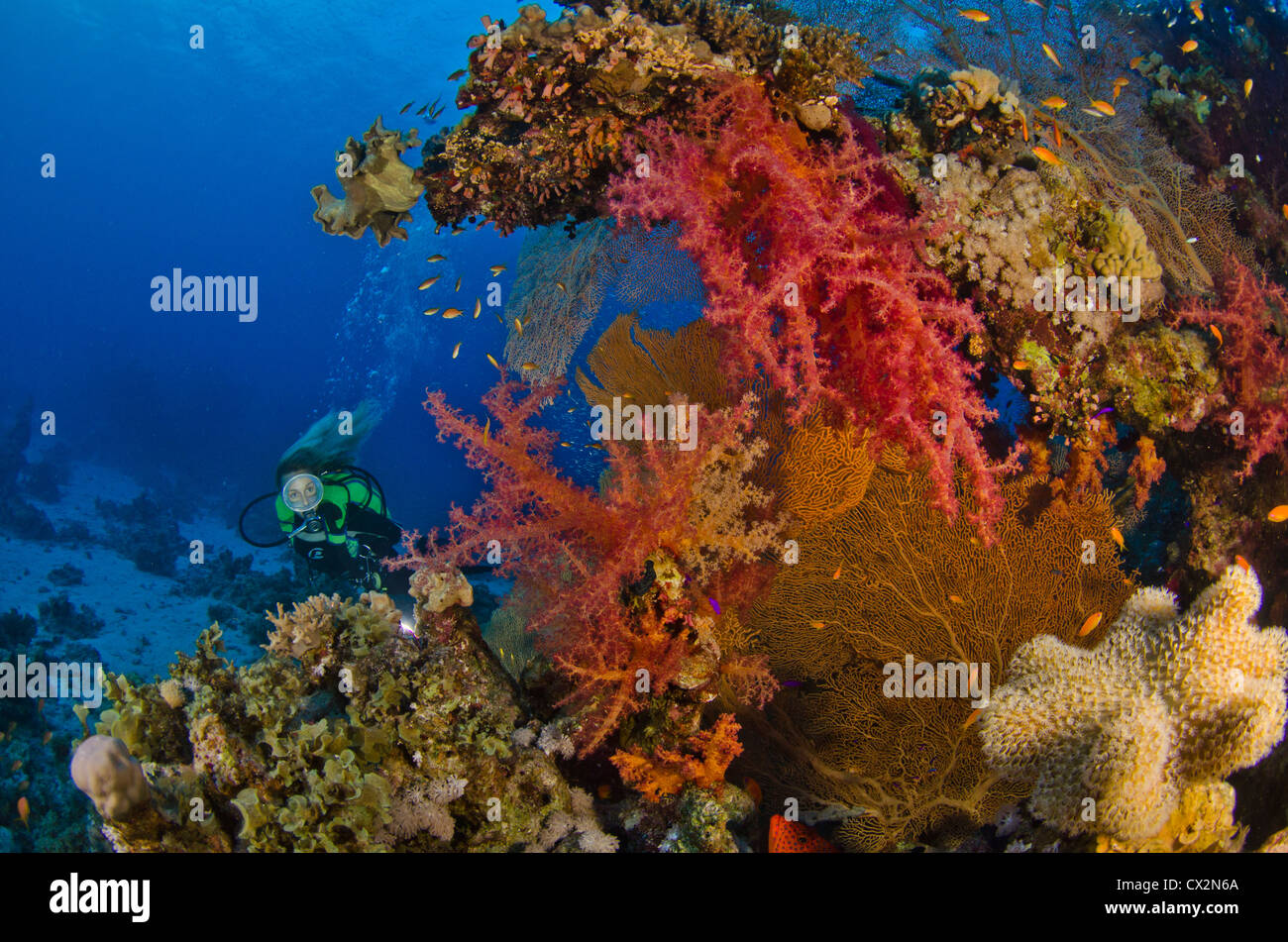 coral reef, Red Sea, Egypt, tropical reef, colorful, color, coral, diver, female diver, water, deep, blue water, - Stock Image
