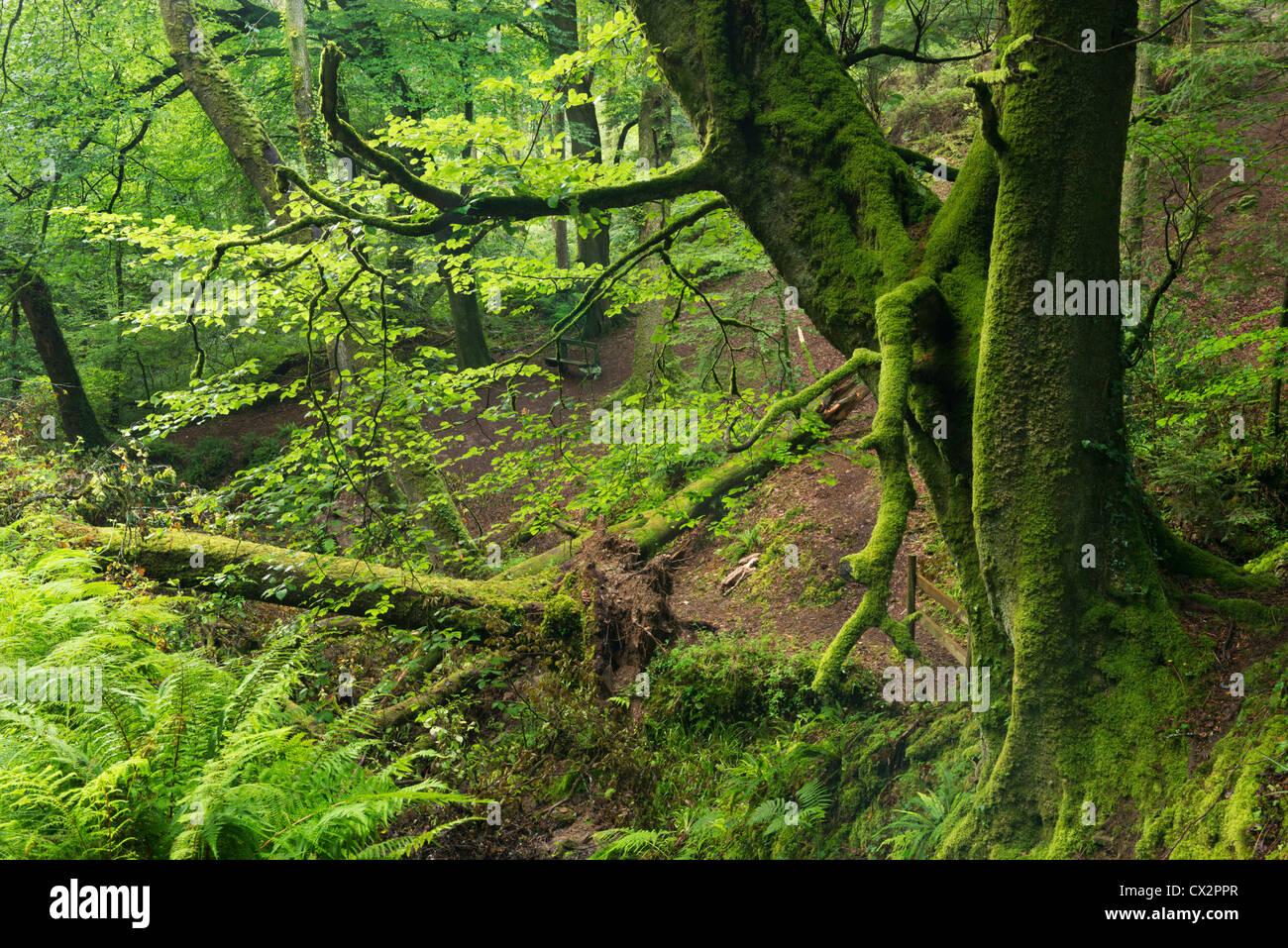 Summer green foliage in Buck's Valley Woods, Buck's Mills, Devon, England. August 2012. Stock Photo