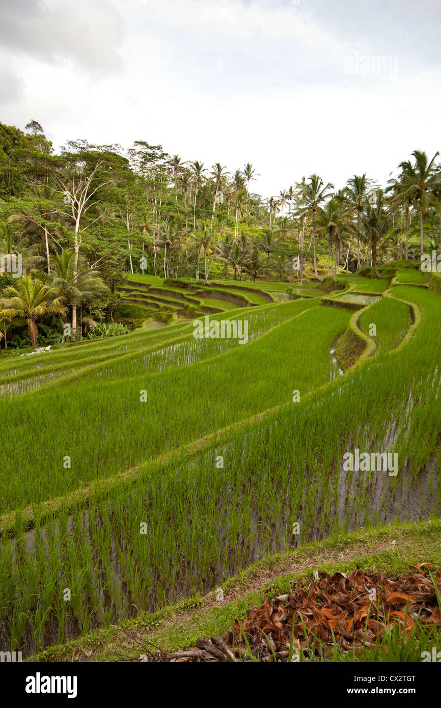 Rice Terrace near Bangli on Bali - Stock Image
