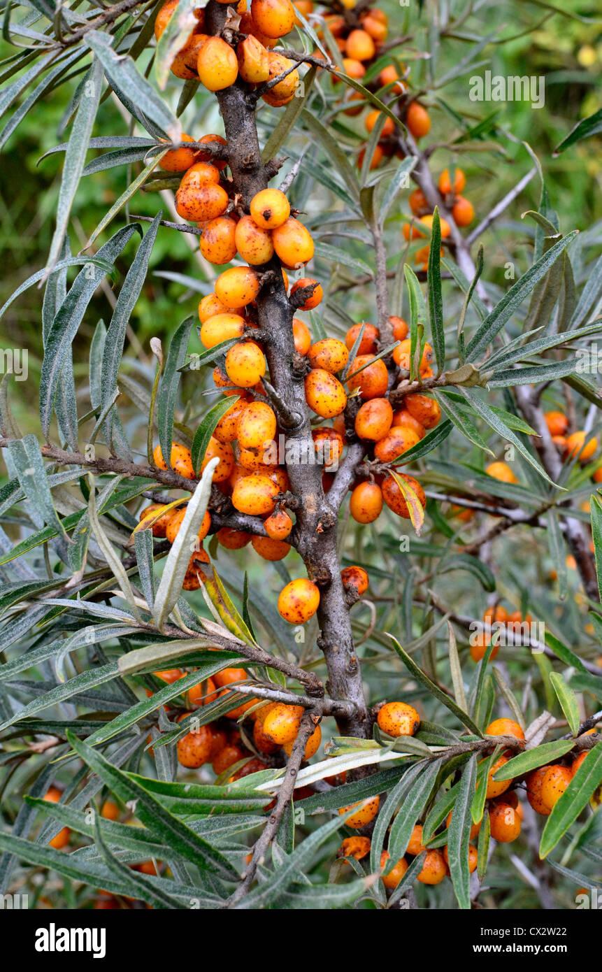 The edible yellow-orange fruits of Sea Buckthorn [Hippophae rhamnoides]. Stock Photo