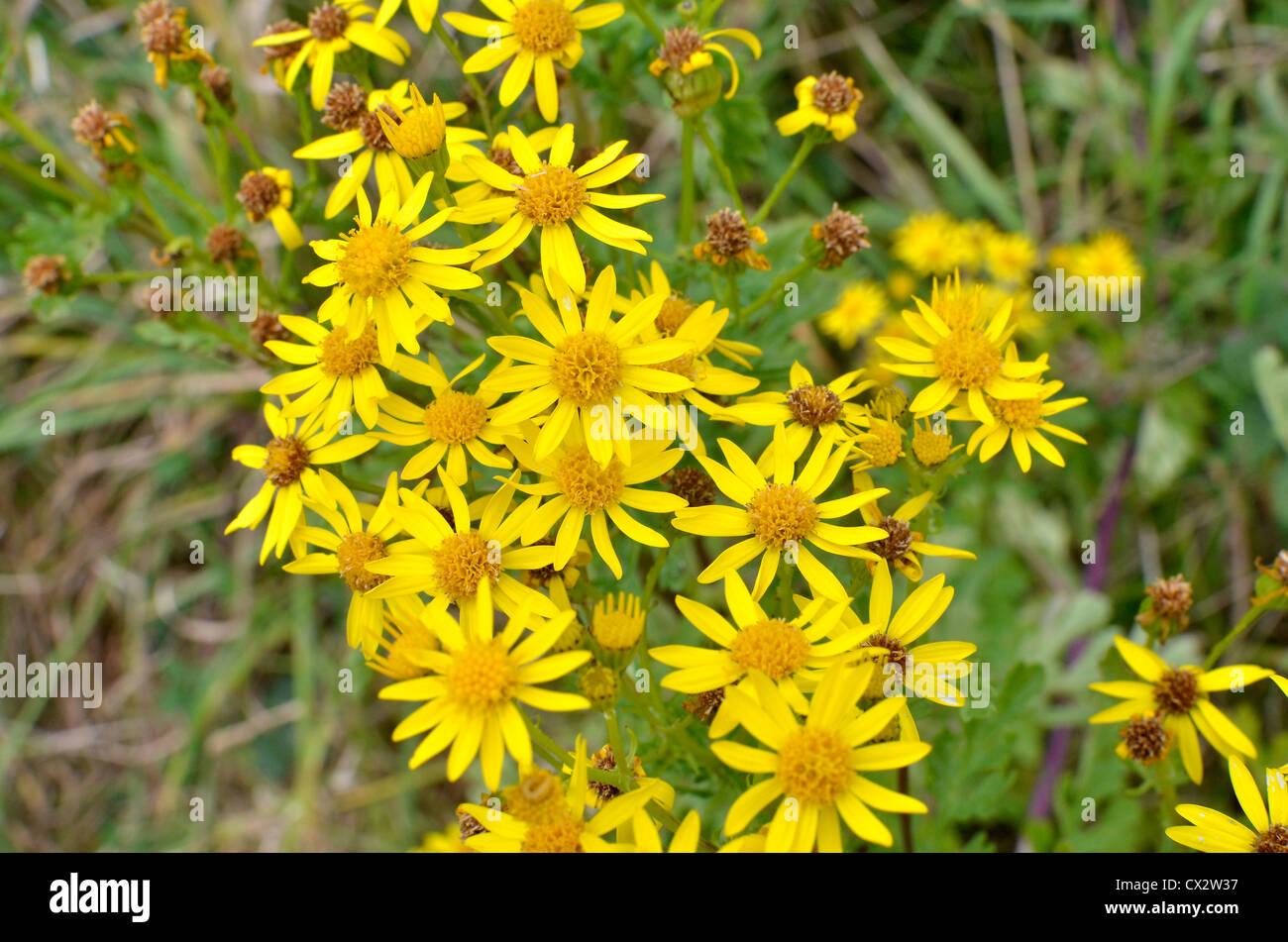 Senecio Jacobaea Yellow Flower Flowers Poisonous Plant Plants Stock
