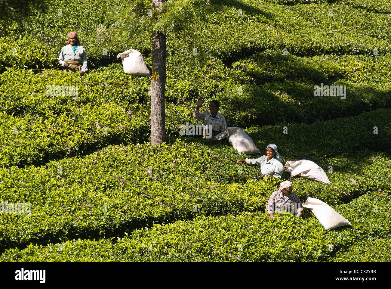 Elk201-5452 India, Tamil Nadu, Udhagamandalam (Ooty), tea plantation, workers picking tea leaves - Stock Image