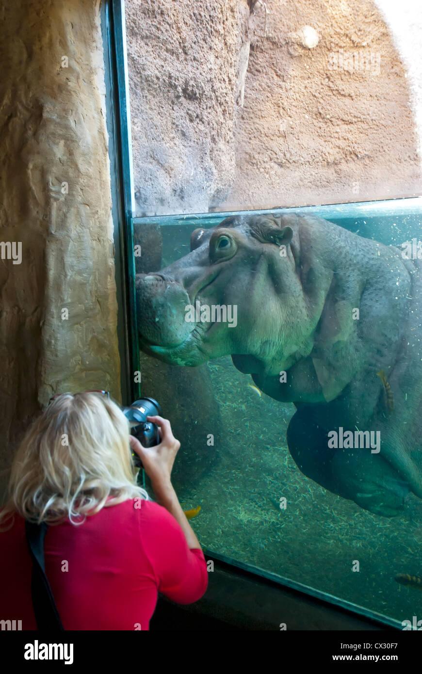Wowman Takes Photo pf  hippopotamus underwater - Stock Image