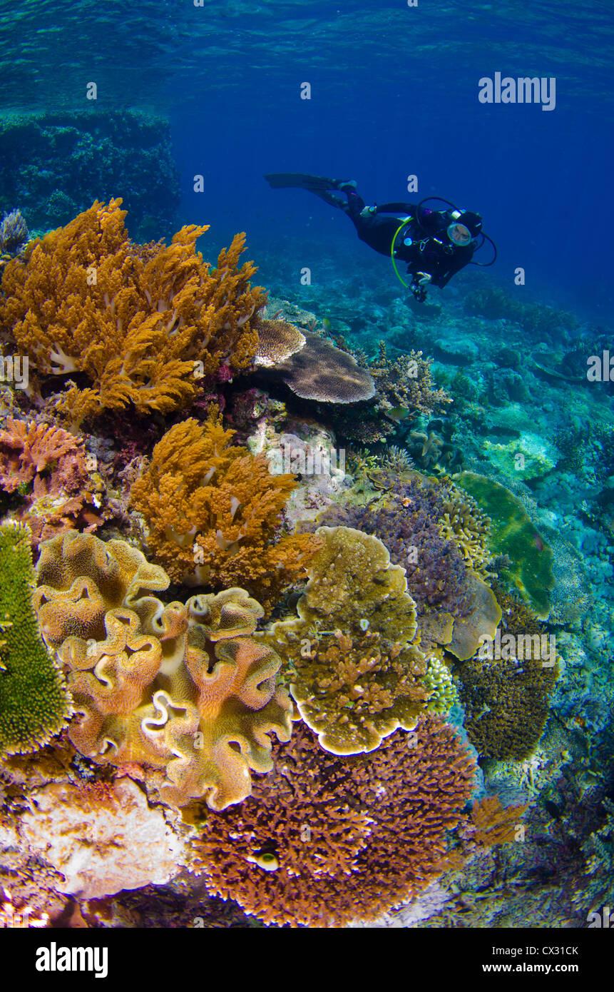 Underwater sea life, Komodo, Indonesia, coral reef, diver, female diver, colorful, coral, blue water, ocean, scuba, - Stock Image