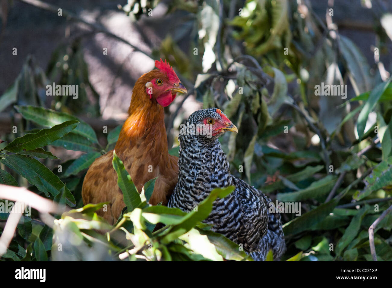 Two hens planning something - Stock Image