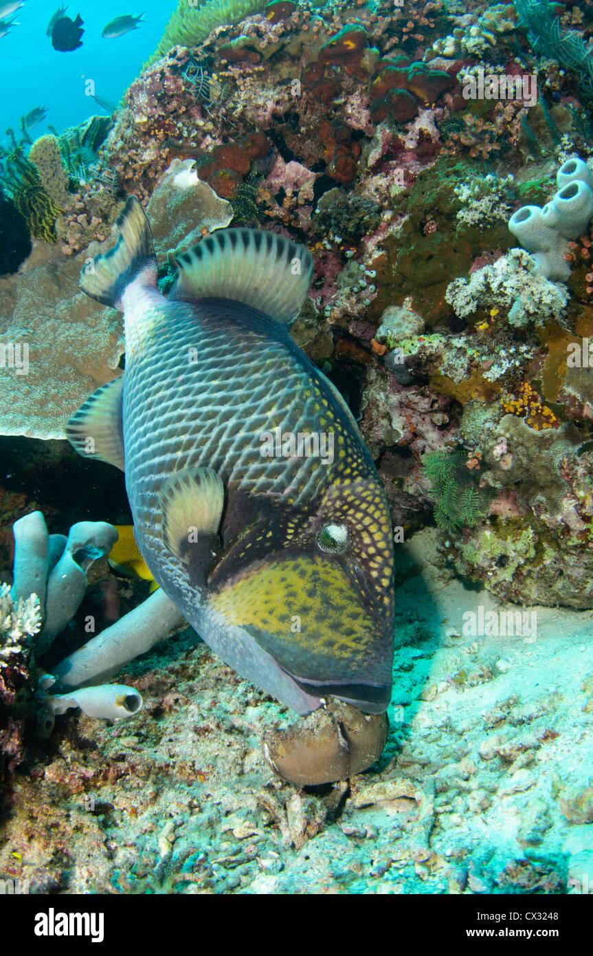 A feeding Titan Trigger fish, Balistoides viridescens, Komodo National Park, Nusa Tenggara, Indonesia, Pacific Ocean - Stock Image