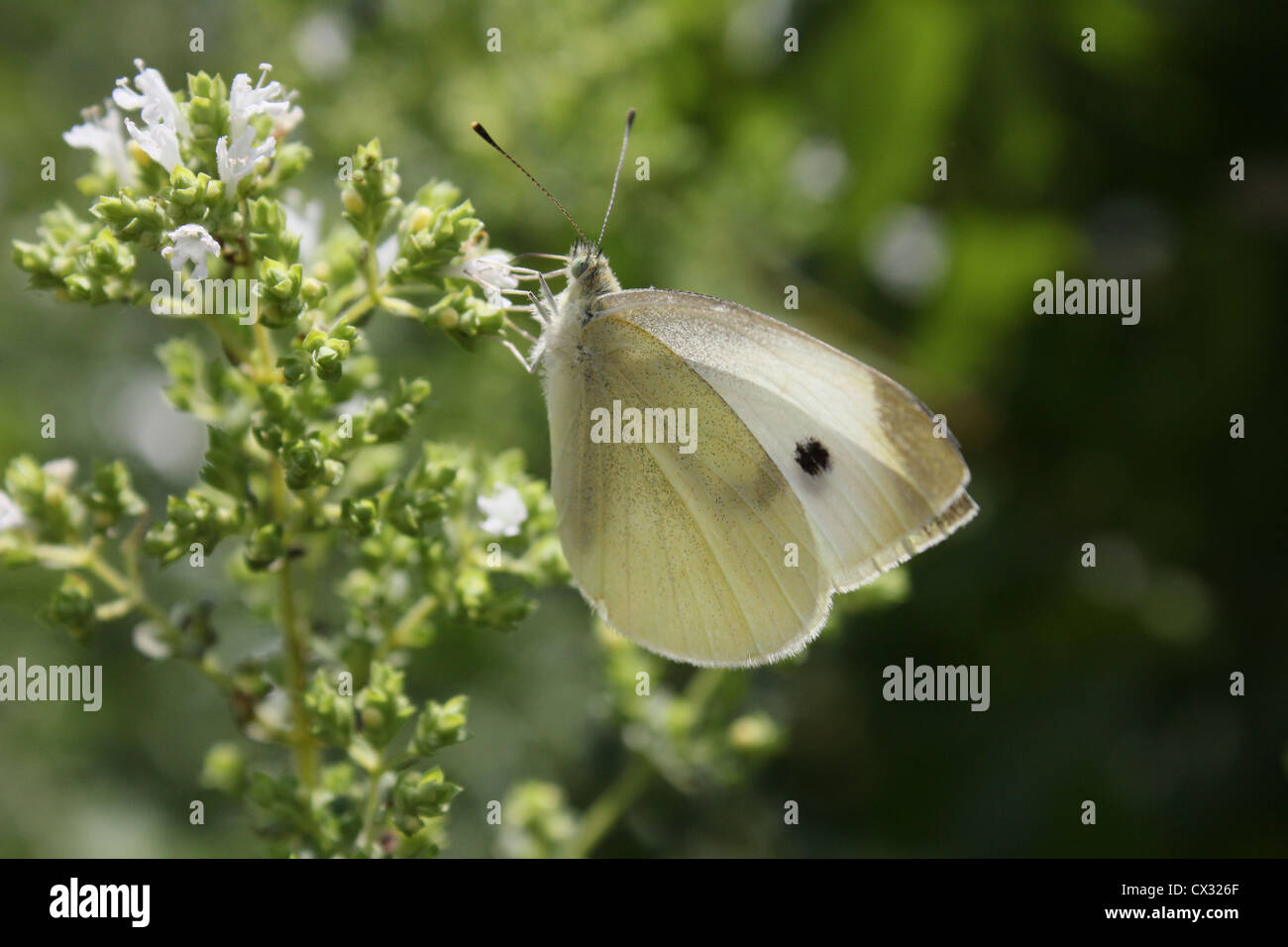 A butterfly feeding on flowers. - Stock Image