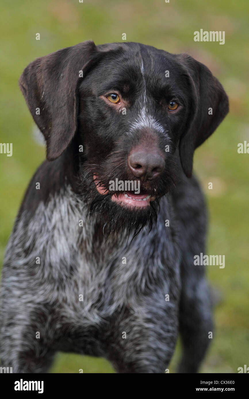 German Wirehaired Pointer Portrait Stock Photos & German Wirehaired ...