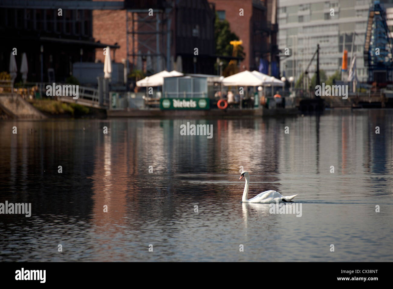 swan at Inner Harbour Duisburg, North Rhine-Westphalia, Germany, Europe - Stock Image
