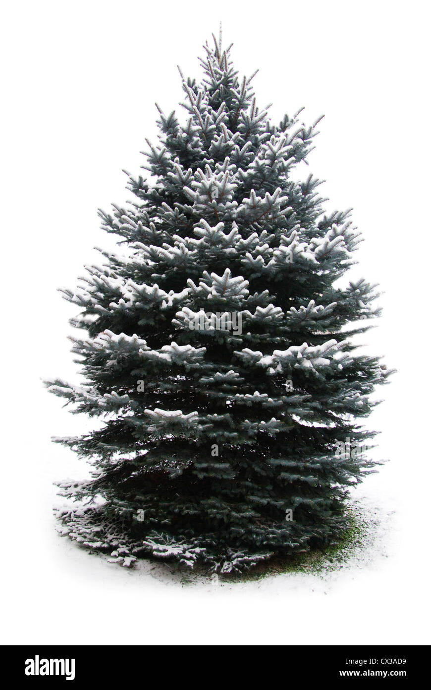 fir tree branches christmas decoration on white - Stock Image