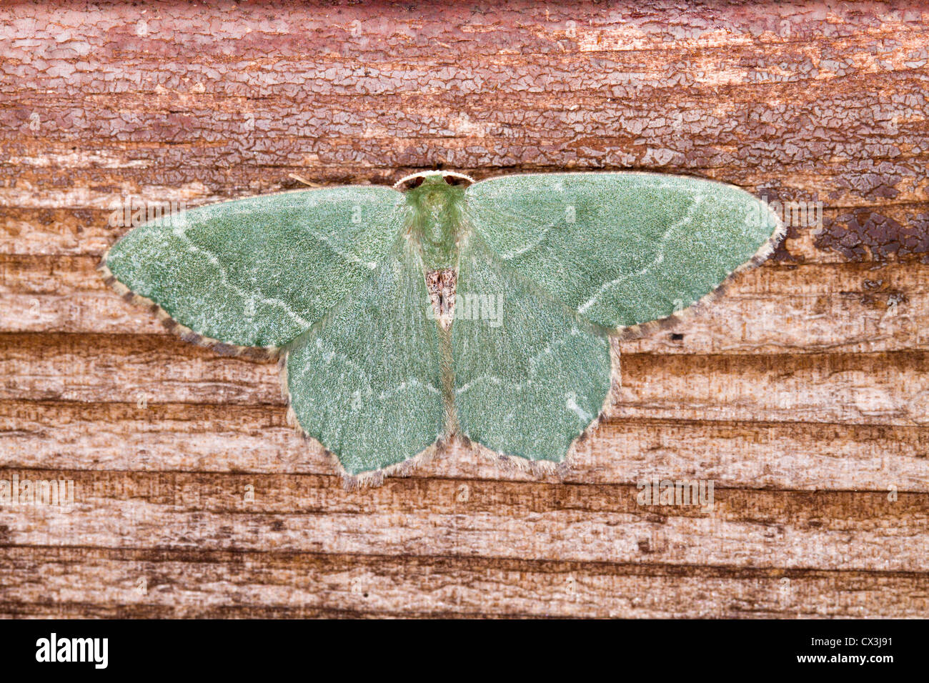 Small Emerald Moth; Hemistola chrysoprasaria; UK - Stock Image