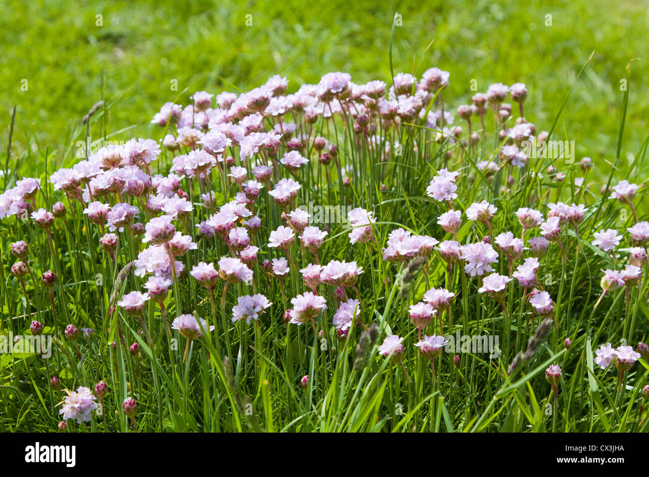 Thrift flowering on the cliff top Durlston Country Park, Swanage, Dorset Stock Photo