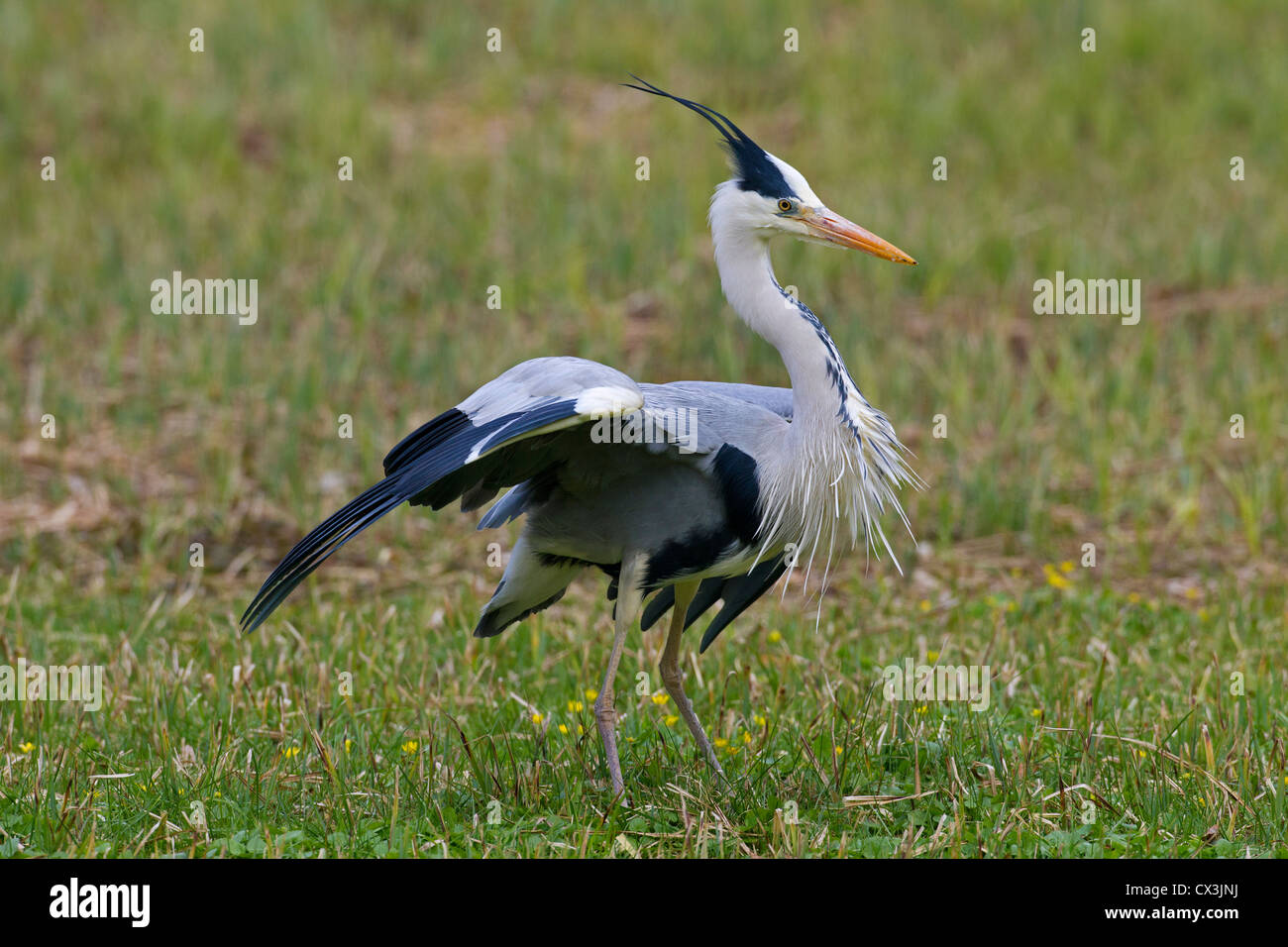 Grey Heron (Ardea cinerea) displaying by raising crest feathers in meadow, Germany - Stock Image
