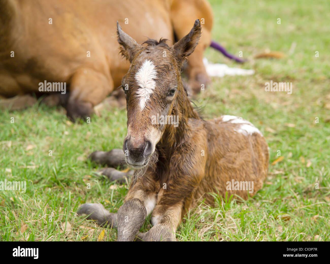 Newborn Appaloosa foal minutes after birth. Stock Photo