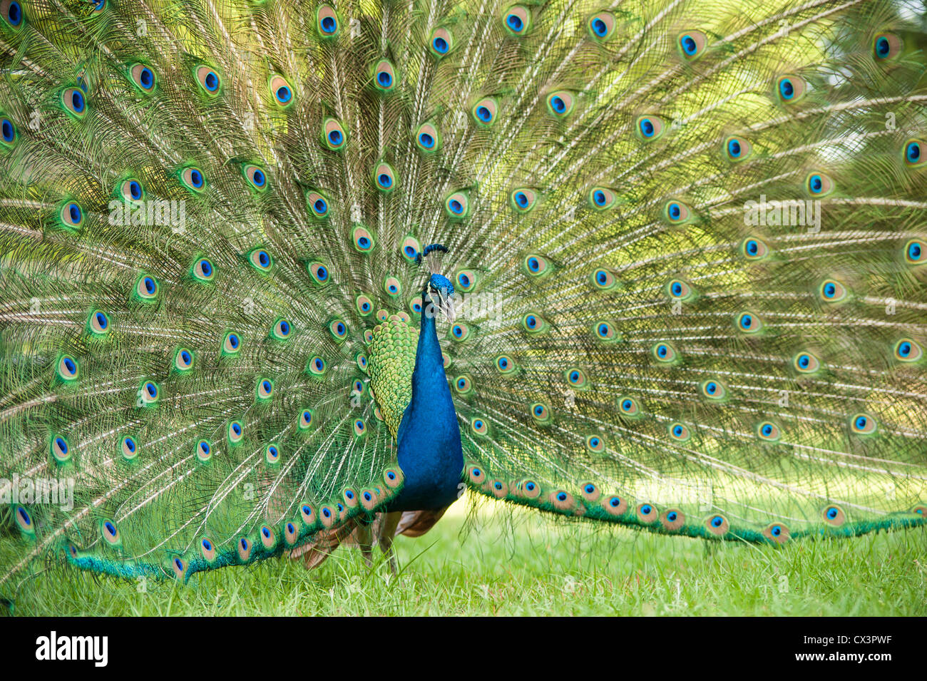 Peacock display feathers - Stock Image