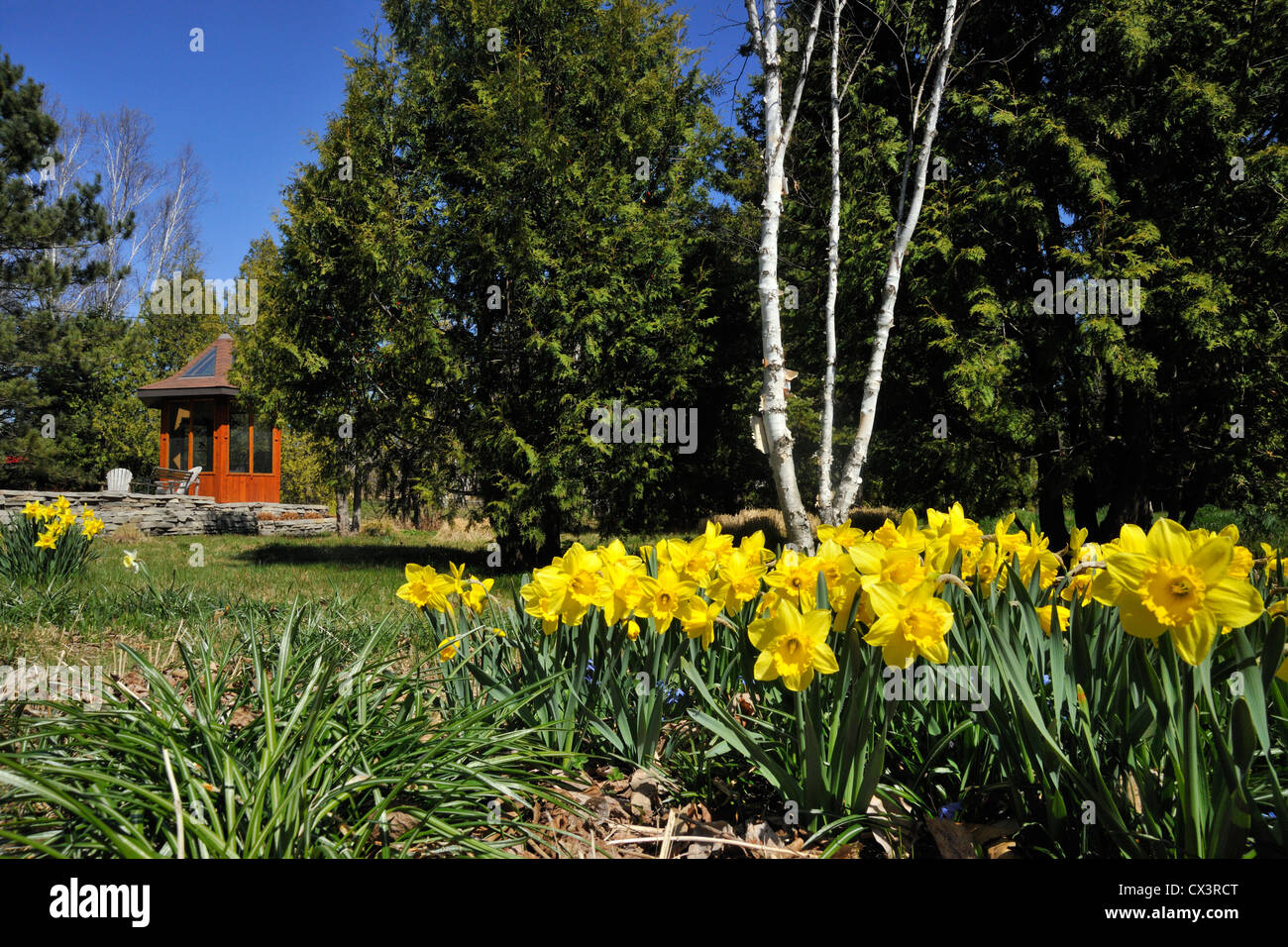 Residential Gardens In Early Spring Daffodils And House Greater Sudbury Ontario Canada