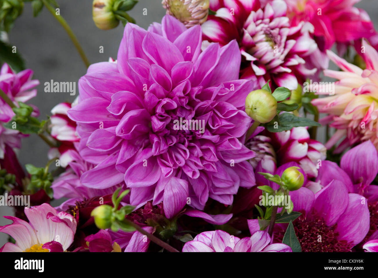 Freshly cut purple Chrysanthemums for sale at the Monterey Farmers Market. - Stock Image