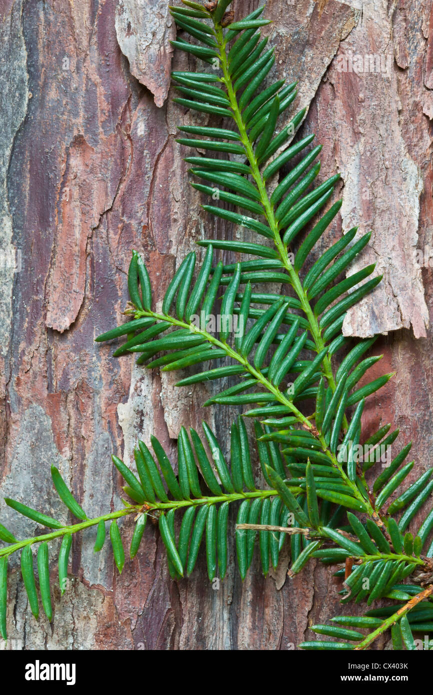 Pacific (Western) Yew branch against bark 'Taxus brevifolia' - Stock Image