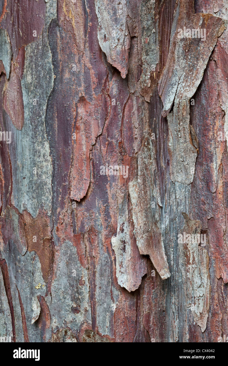 Bark 'Pacific  (Western) Yew'  tree 'Taxus brevifolia' - Stock Image