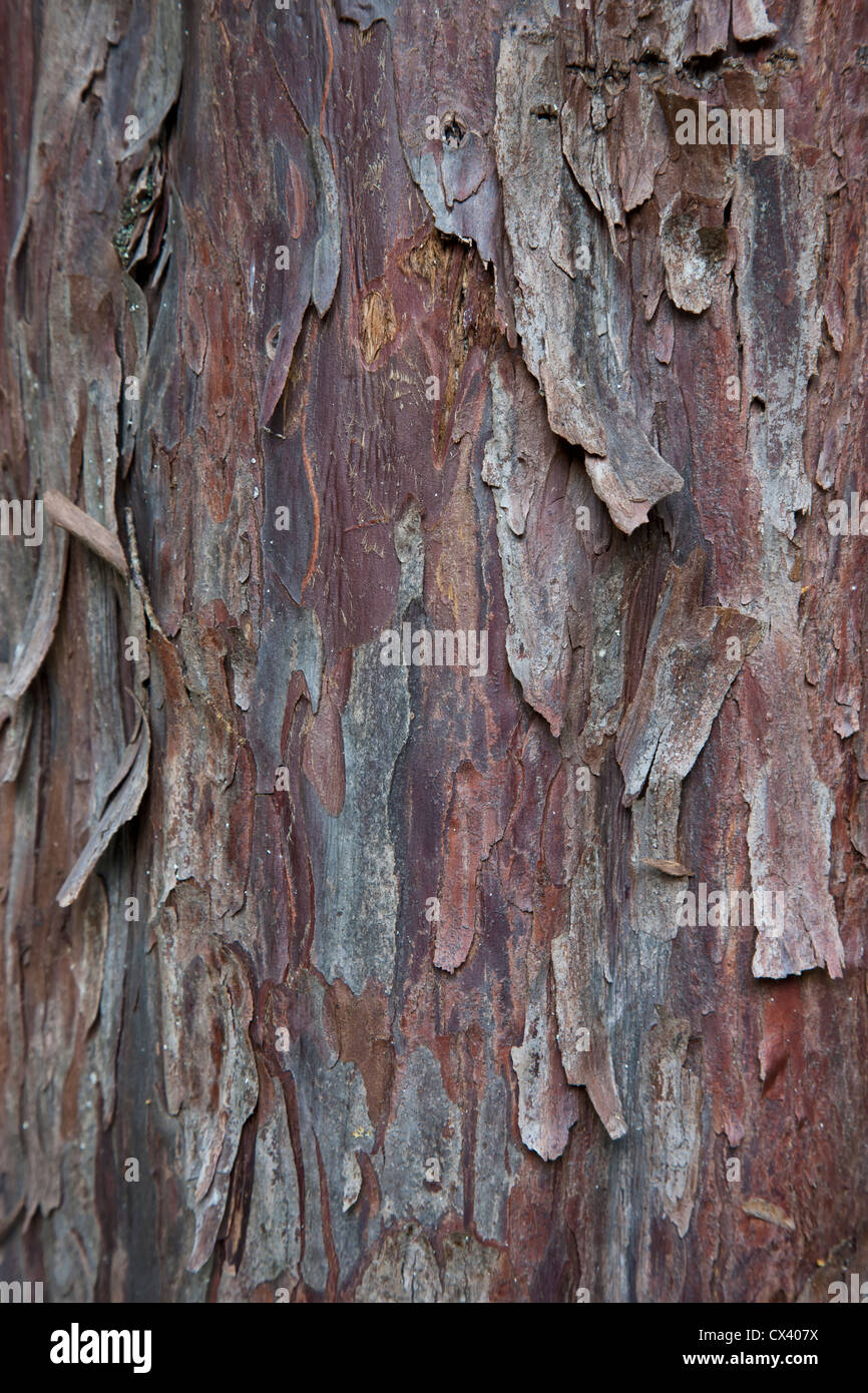 Bark 'Pacific  (Western) Yew ' tree 'Taxus brevifolia'. - Stock Image