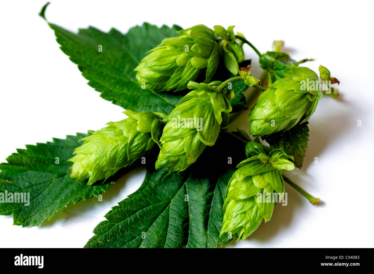 Closeup of Hops umbels on a hops leaf, Hops is one of the most important ingredients of beer. - Stock Image