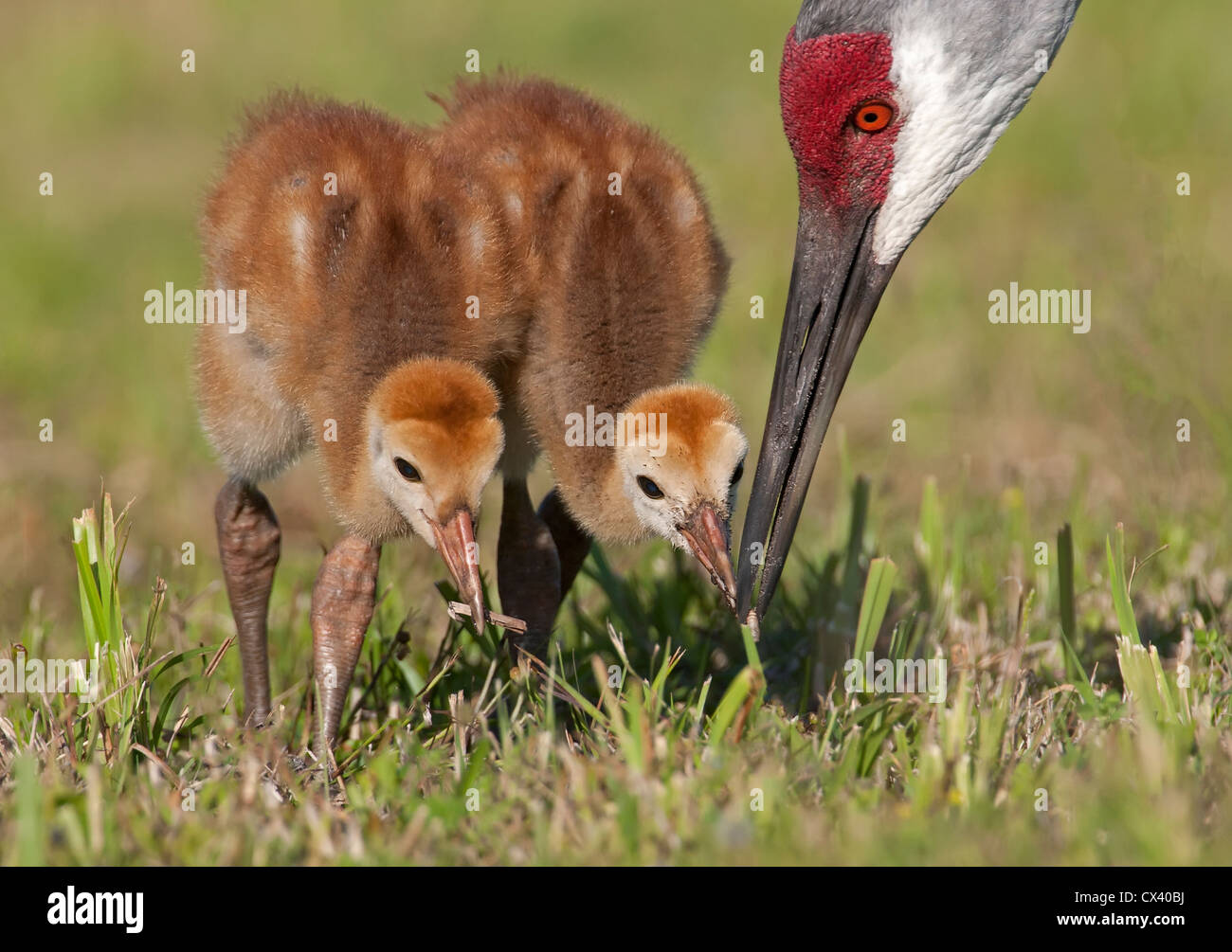 adult sandhill crane feeding it's young - Stock Image