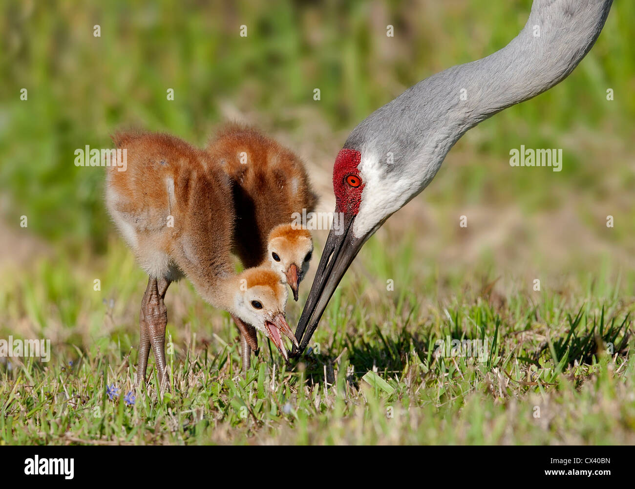 two sandhill crane chicks feeding with adult - Stock Image