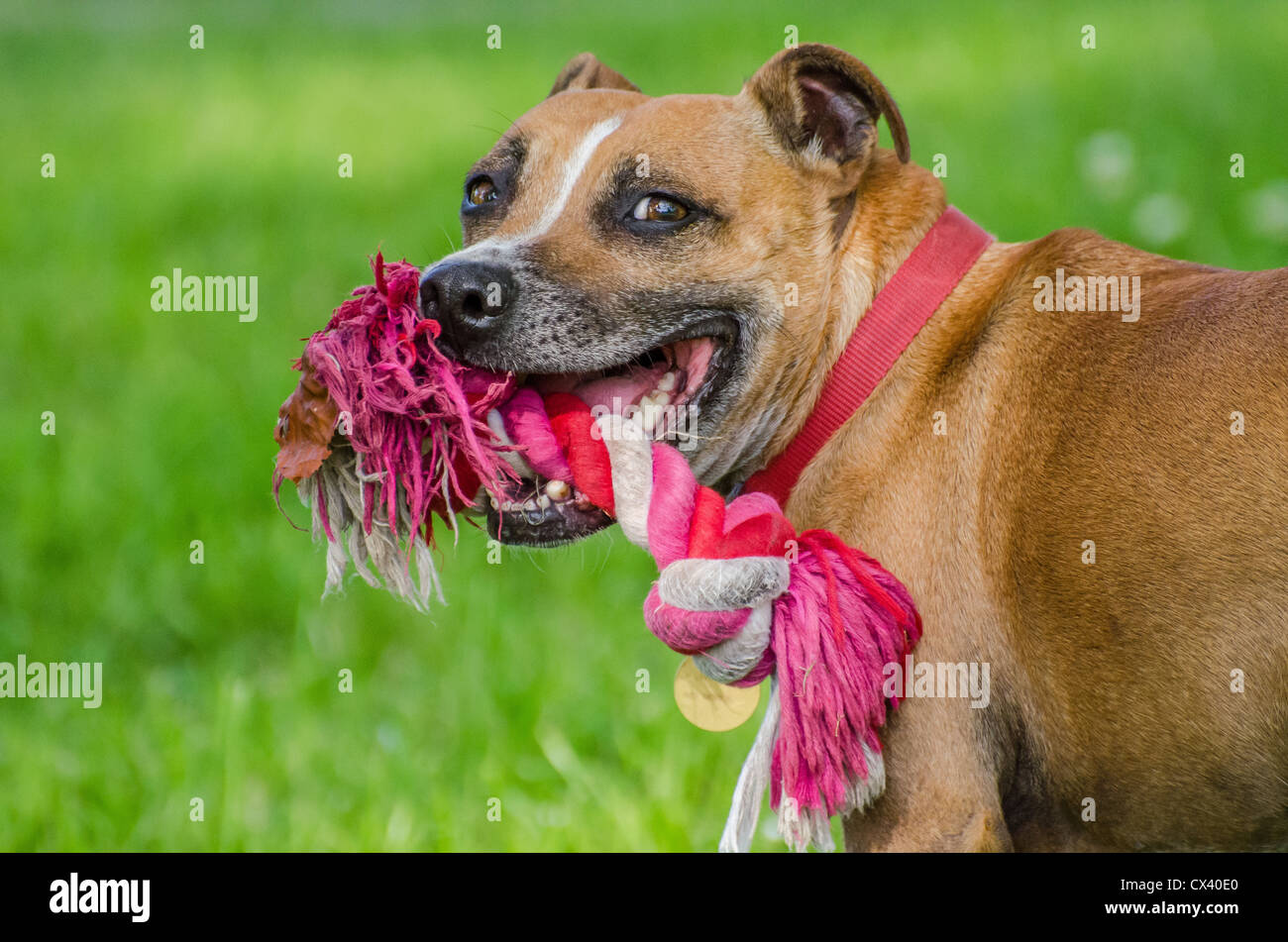 Tan And White Staffy Cross Dog Chewing A Toy - Stock Image