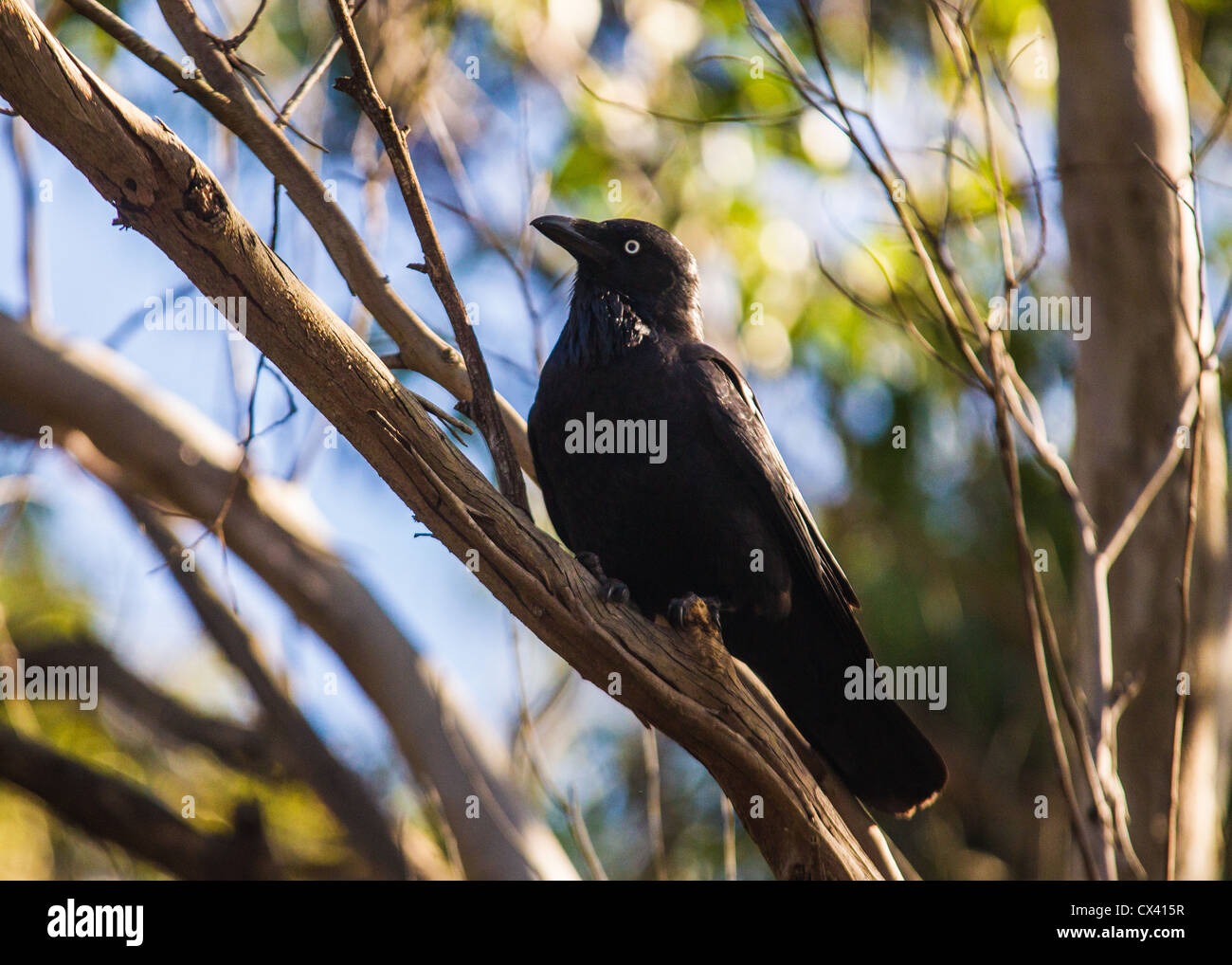 Australian Raven (Corvus coronoides) in a Tree at Manly Dam - Stock Image