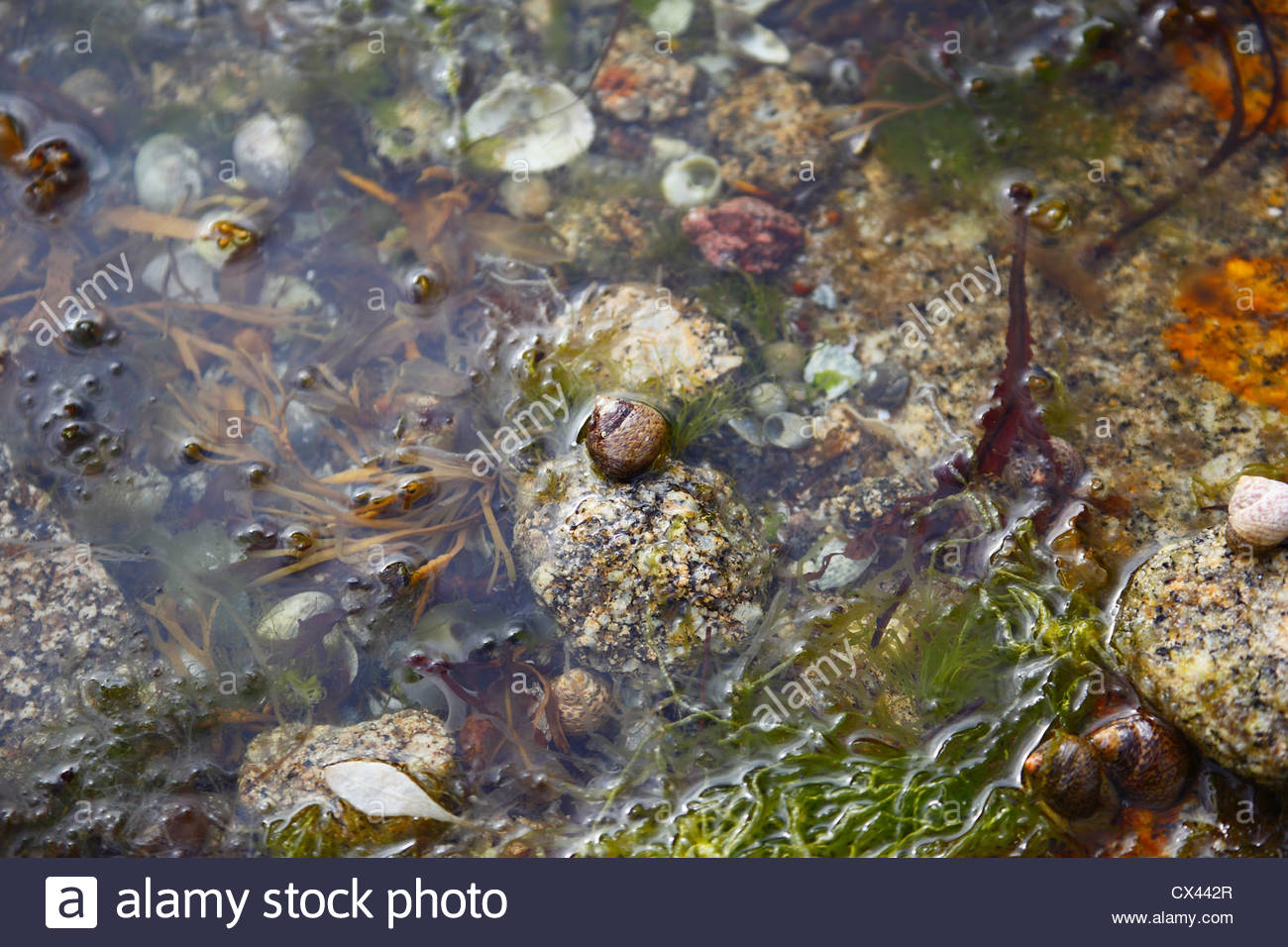 winkles and seaweeds in a pond in north-west atlantic - Stock Image