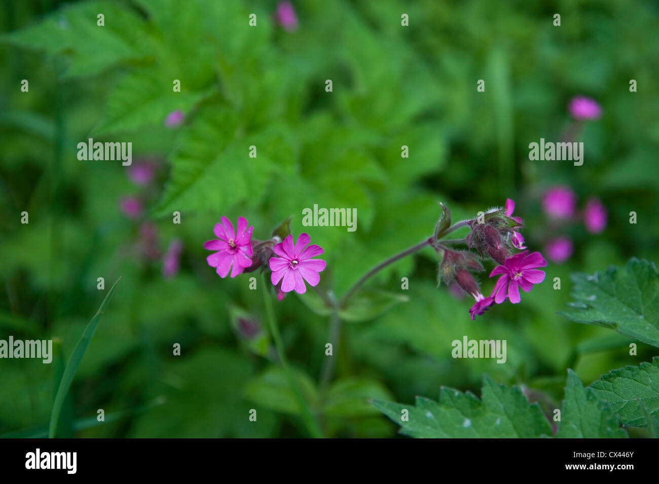 Wild flowers along the hedgerows on The Ridgeway, Oxfordshire, UK Stock Photo
