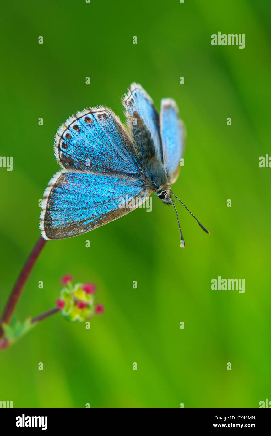 Male Adonis blue butterfly basking care-free in early morning sun - Stock Image