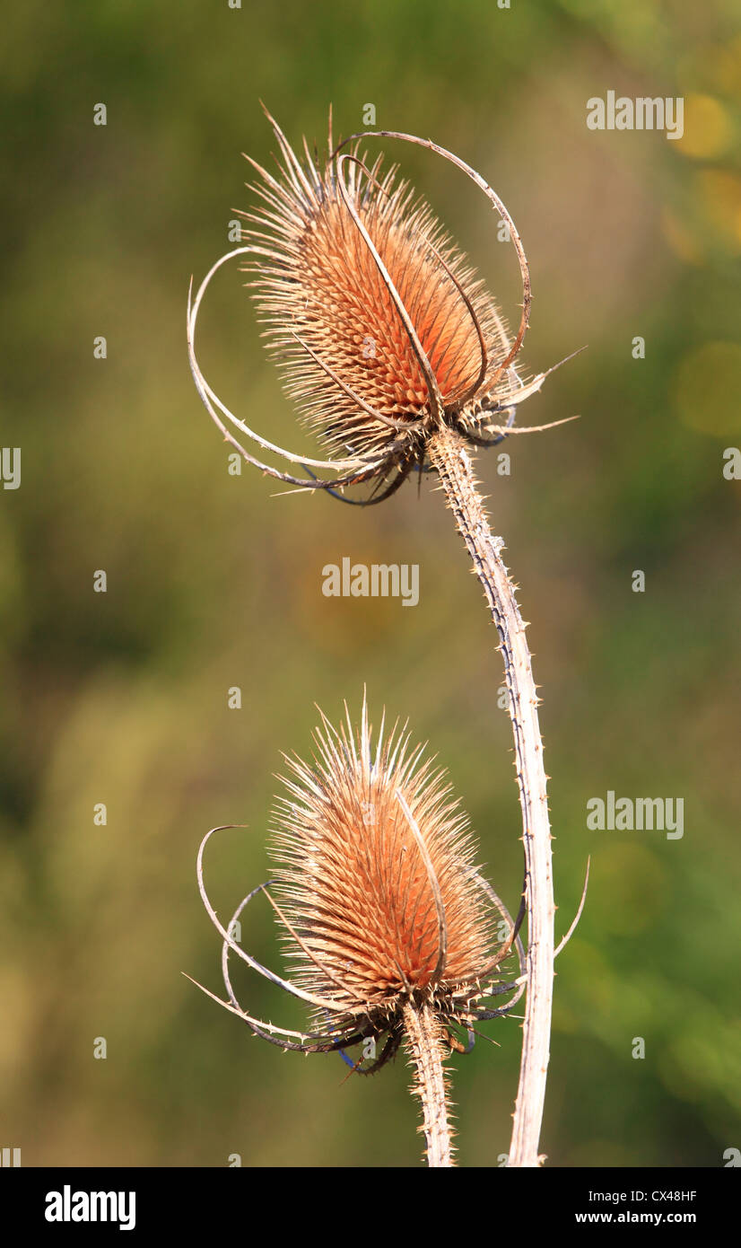 Wild dried Teasel, Worcestershire, England, Europe - Stock Image