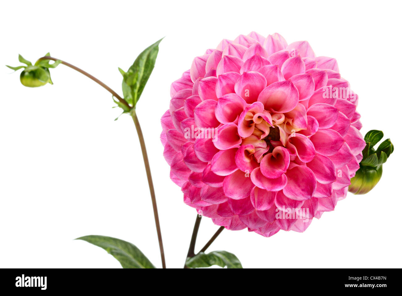 Dahlia Single Flower Isolated On White Background Stock Photo