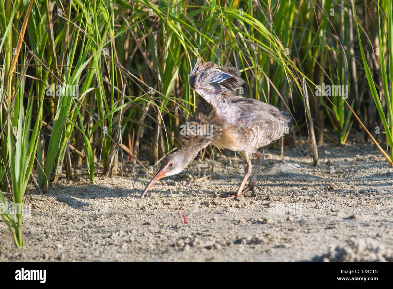 Virginia Rail (Rallus limicola) chick - Stock Image