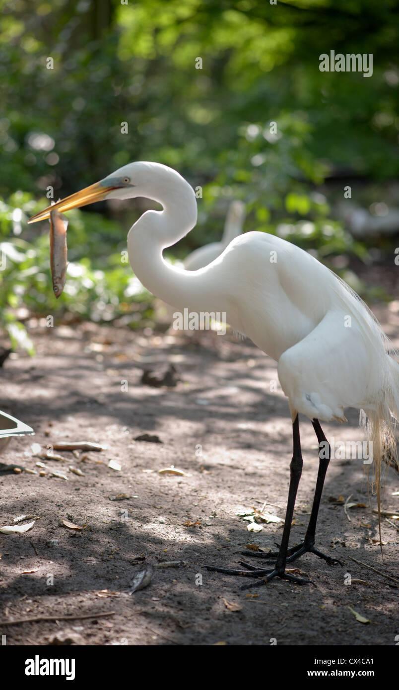 White egret holding a fish in its beak. - Stock Image