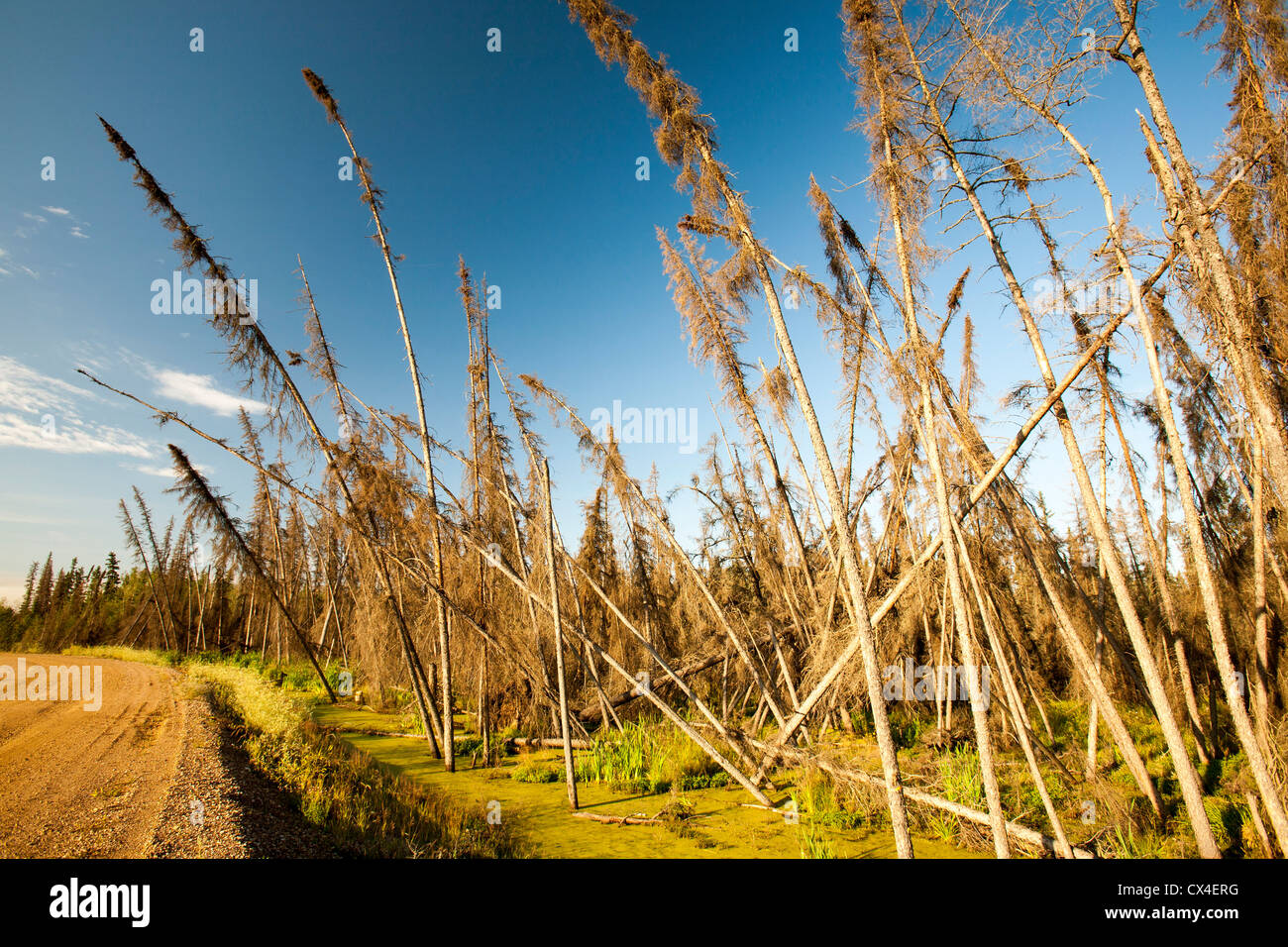Boreal Forest destroyed by forest fires near Fort McMurray, Alberta, Canada, the centre of the tar sands industry. - Stock Image