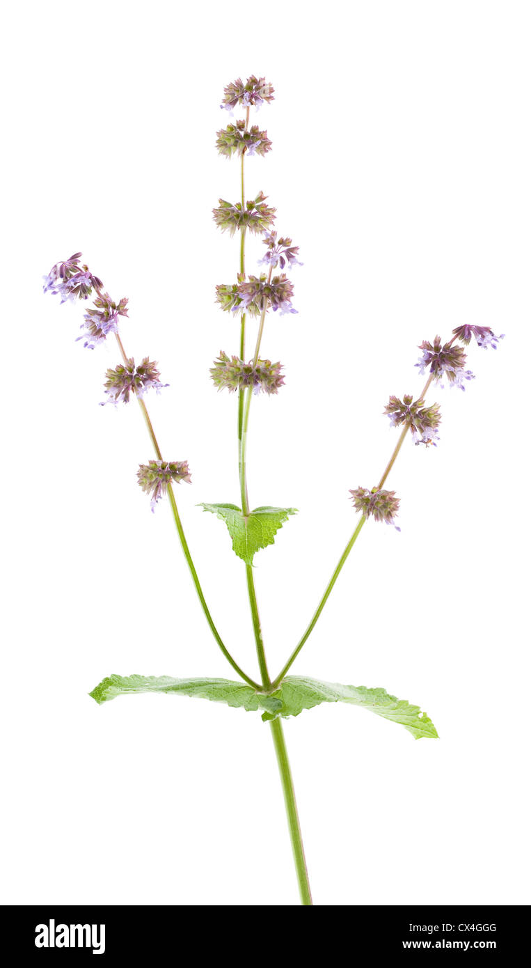 single flower salvia (Salvia verticillata) on white background - Stock Image