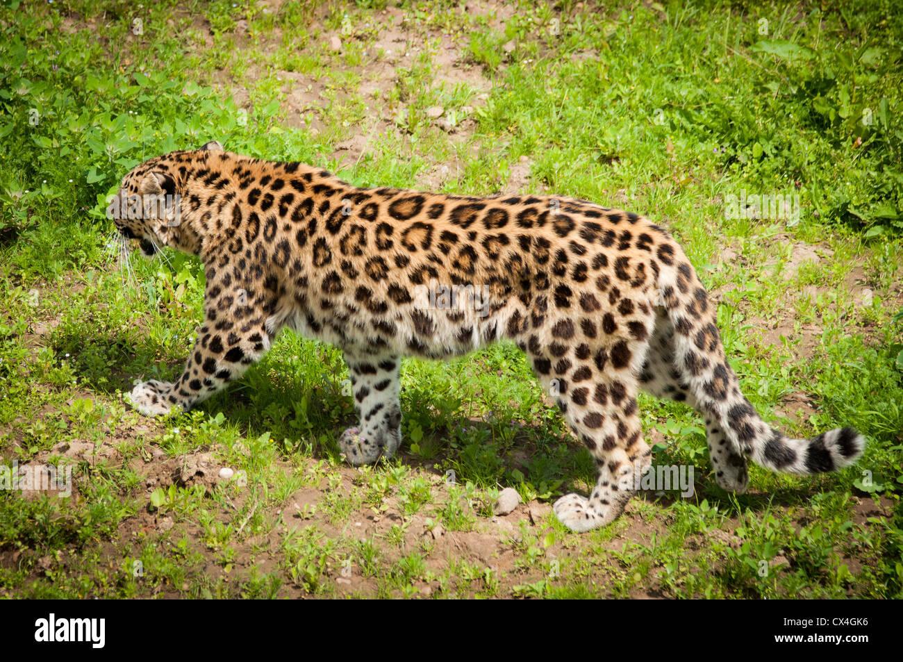 An Amur Leopard walking in grass - Stock Image