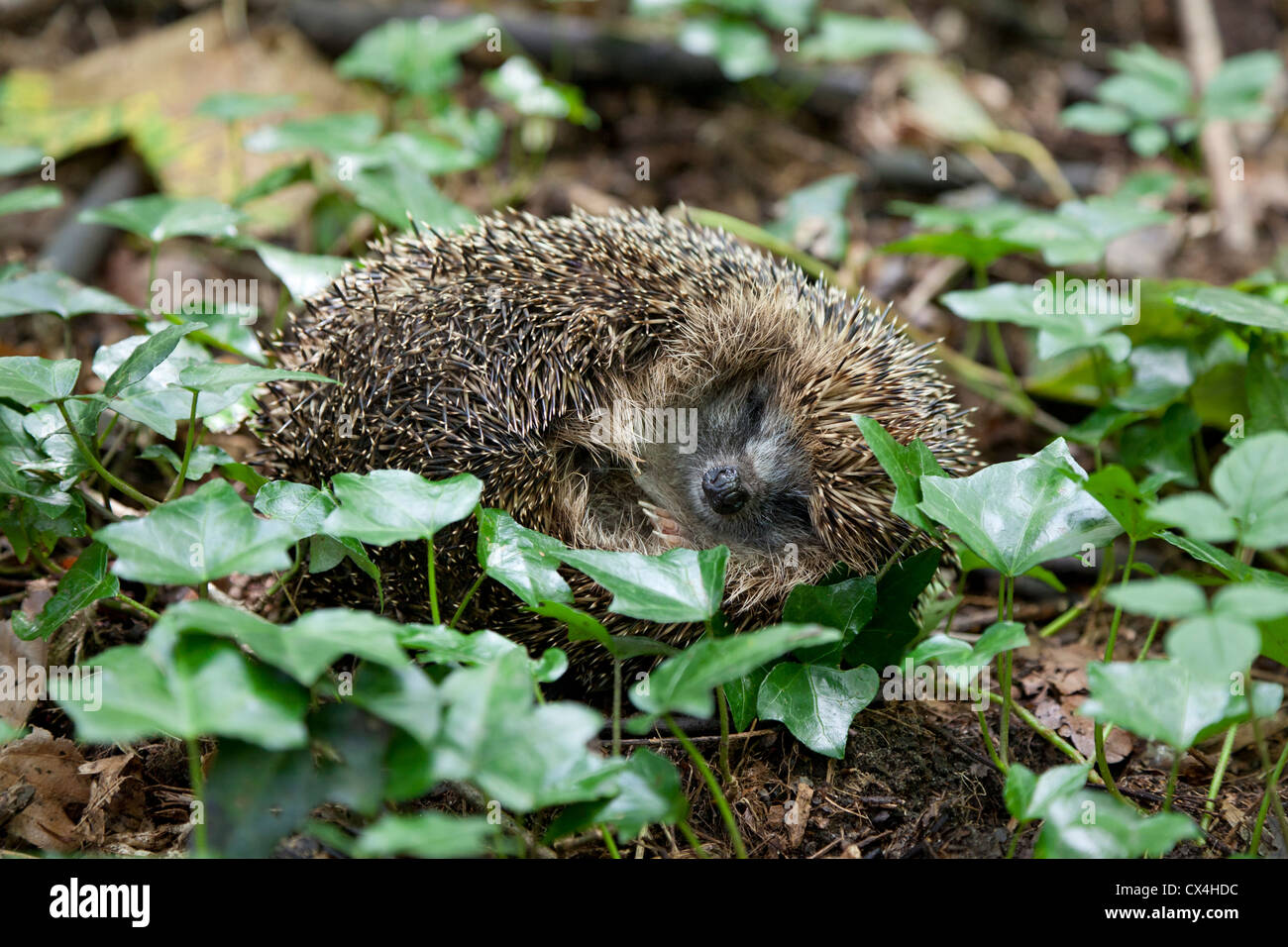 European Hedgehog rolled up in the woods - Stock Image