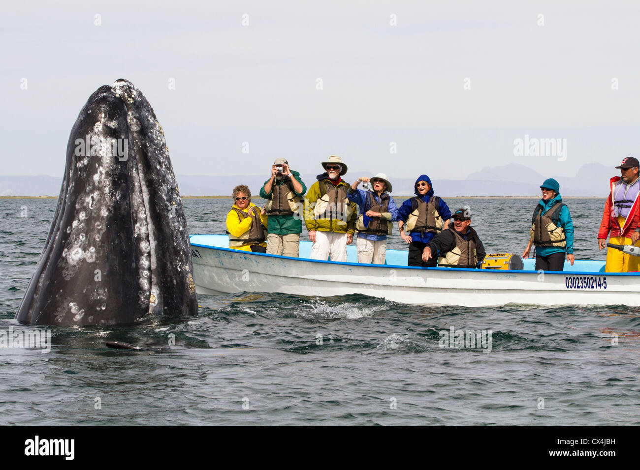 Gray Whale (Eschrichtius robustus) spyhopping in front of whale watching boat, San Ignacio Lagoon, Baja California, - Stock Image