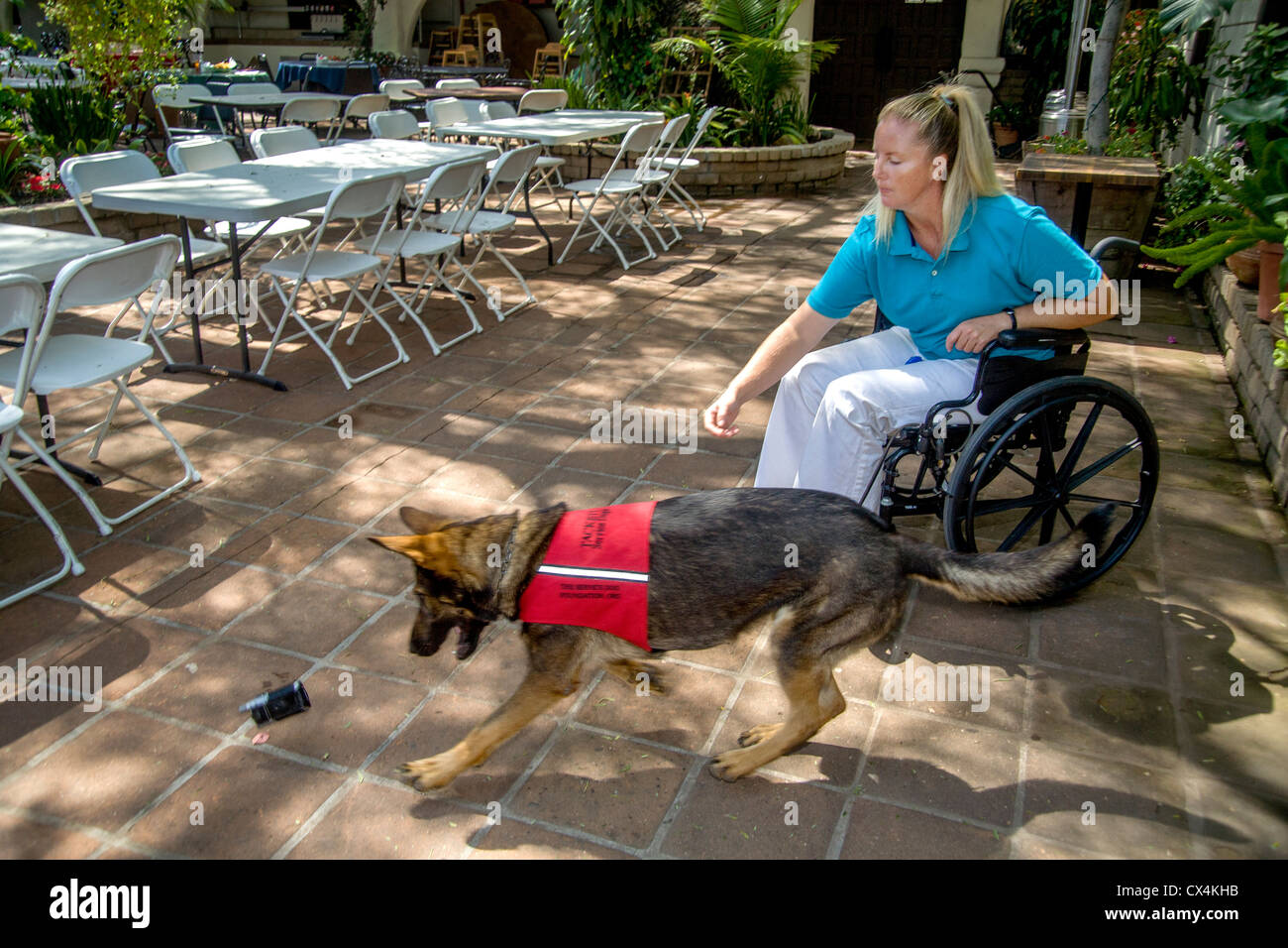 A trained service dog retrieves a dropped cell phone for his handicapped owner in Orange, CA. - Stock Image