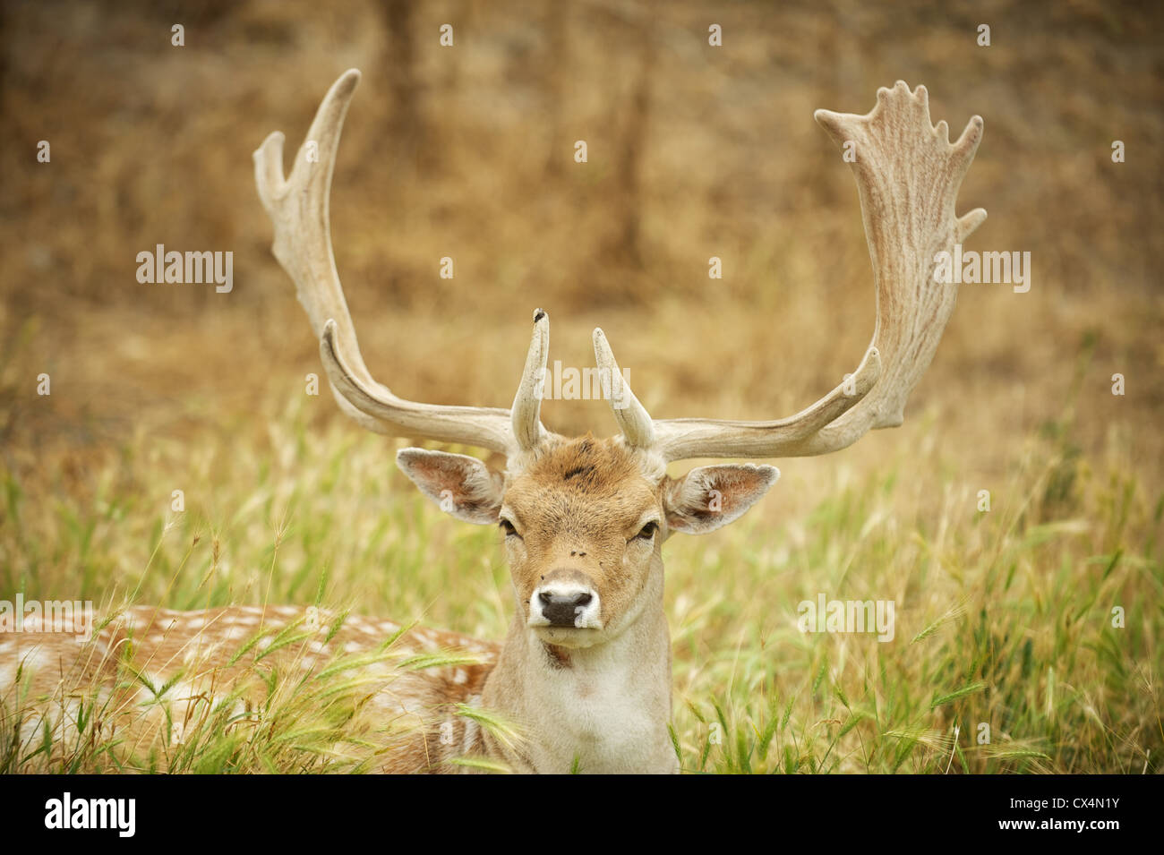 Male deer with antlers. The Olympic Game Farm. Sequiem, Olympic Peninsula, Washington State, USA - Stock Image